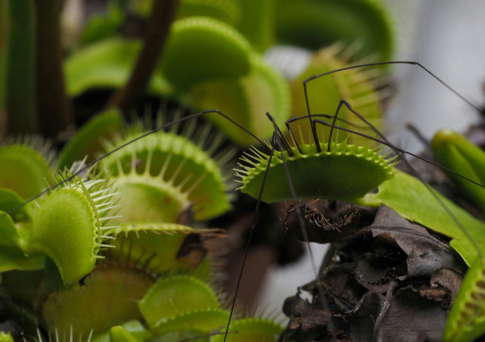The Venus fly trap is a carnivorous plant, which means it gains most of its nutrients from insects. (Getty Images)