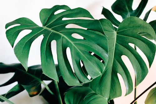 Monstera deliciosa is a popular houseplant, recognizable by its striking split leaves. (Unsplash/Kara Eads)