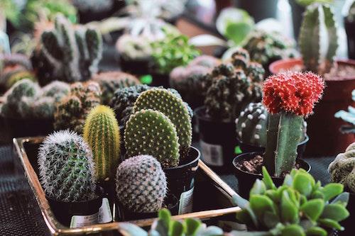 A cactus a rewarding plant that requires little maintenance. (Unsplash/Lena Rose)