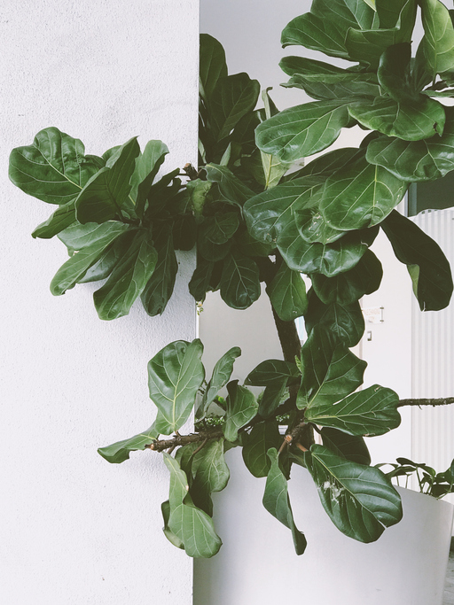 The Fiddle Leaf Fig is a delicate plant that requires consistent care to thrive. (Getty Images)