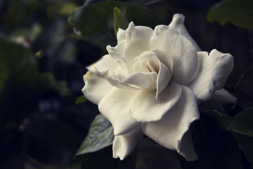 在慰问信中附上白花是一种传统的表达哀悼的方式。(上面)